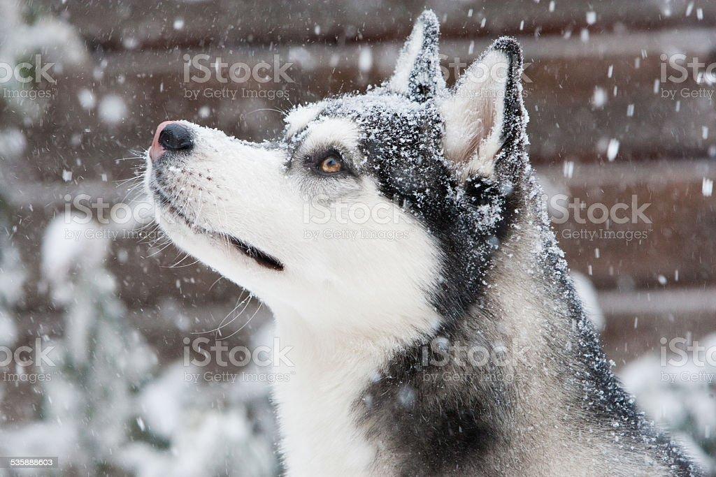 Siberian Husky puppy in Snow stock photo