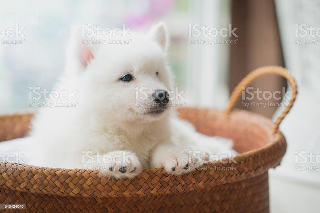 siberian husky puppy lying in a basket stock photo