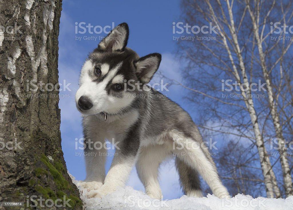 Siberian Husky Puppy royalty-free stock photo
