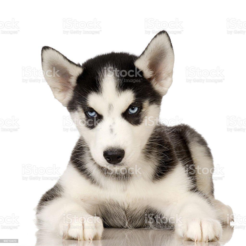 Siberian Husky puppy stock photo