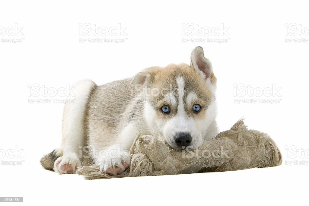 Siberian husky puppy royalty-free stock photo