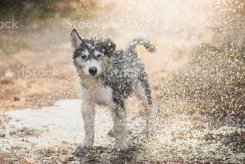 siberian husky puppy shakes the water off its coat. stock photo