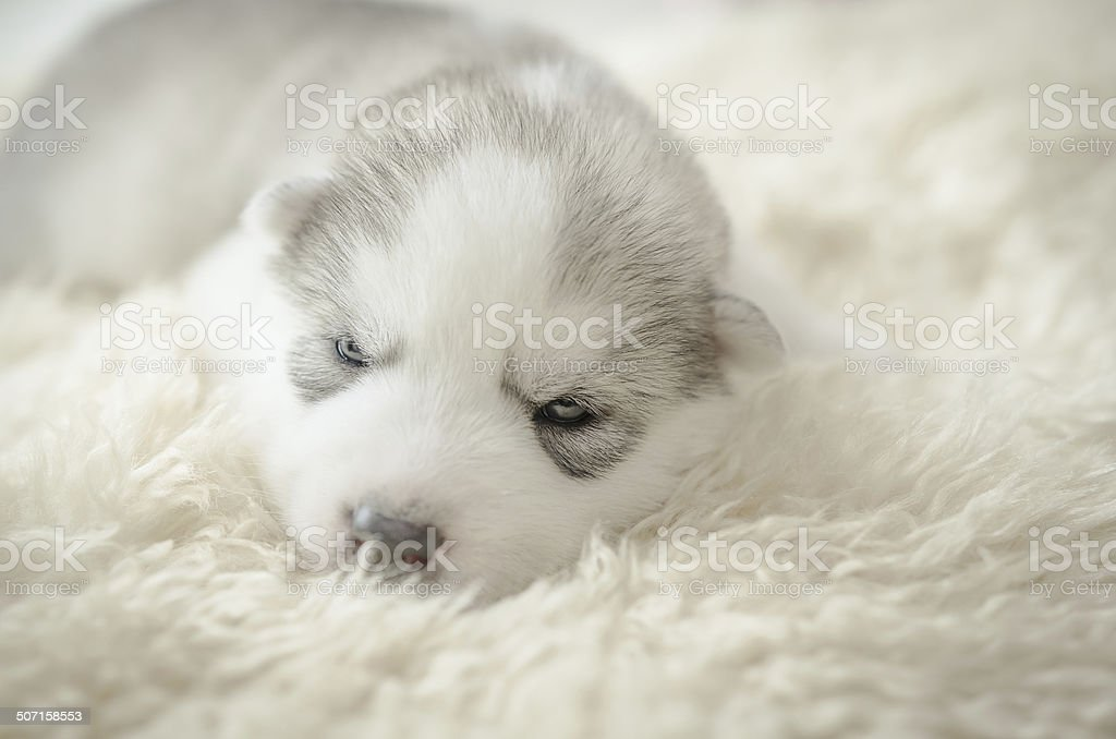 Siberian husky puppy sleeping stock photo