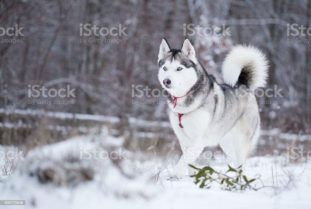 Siberian husky runs on fresh snow. stock photo