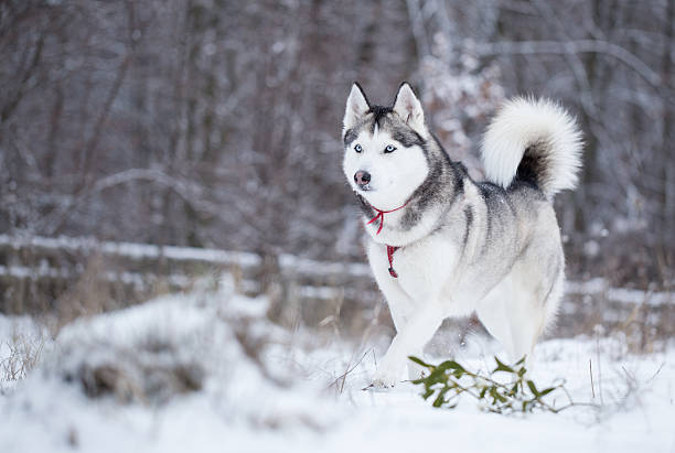 Siberian Husky Pictures Images And Stock Photos Istock