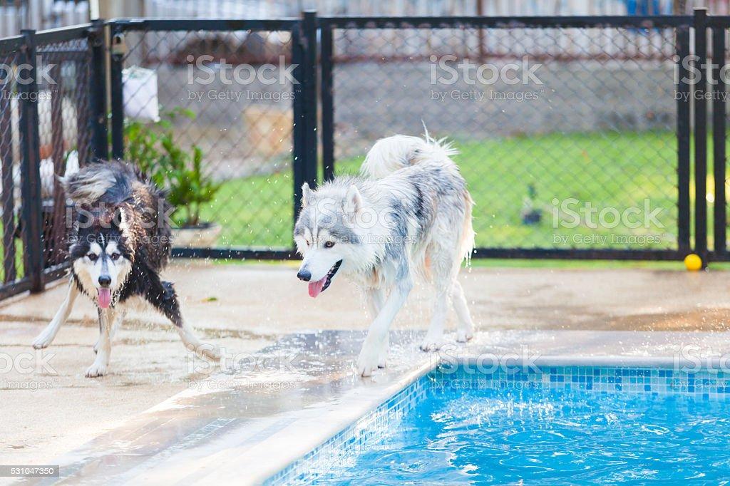 Siberian Husky Shake Off the water stock photo