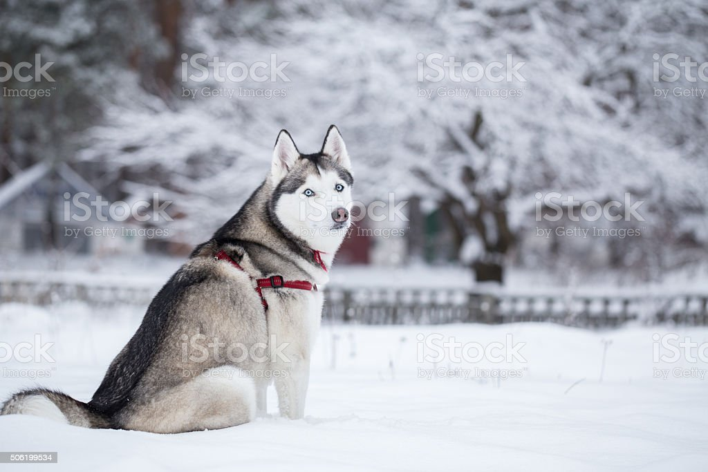 Siberian husky sits on snow. Winter walk in park. stock photo