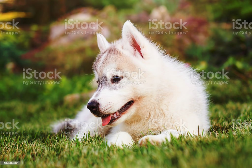 Siberian husky. small puppy lying on the lawn. stock photo