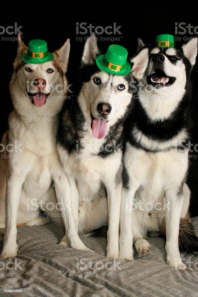 Siberian Husky St. Patricks Day Leprechauns stock photo
