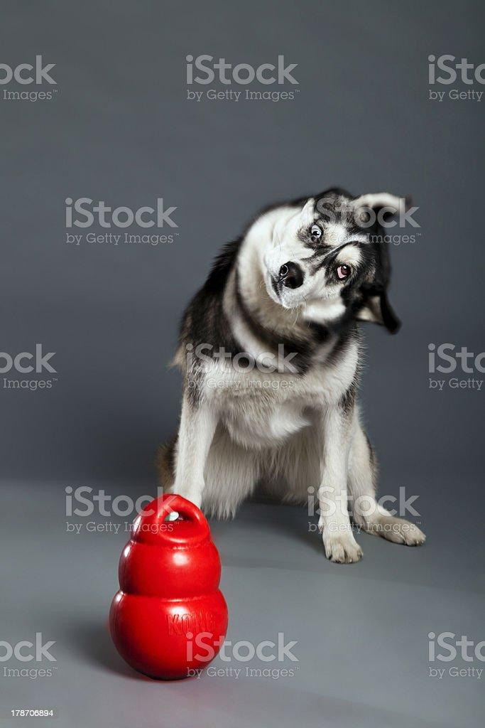 Siberian Husky Studio Portrait Shaking Head with Toy stock photo