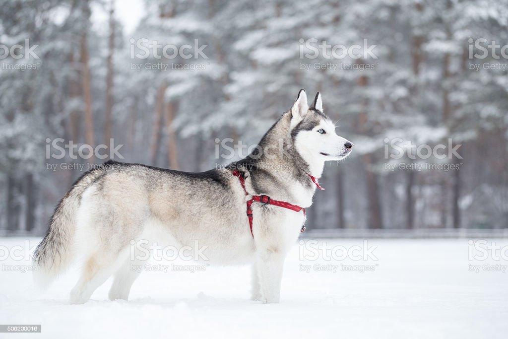Siberian husky. Winter walk in park. stock photo
