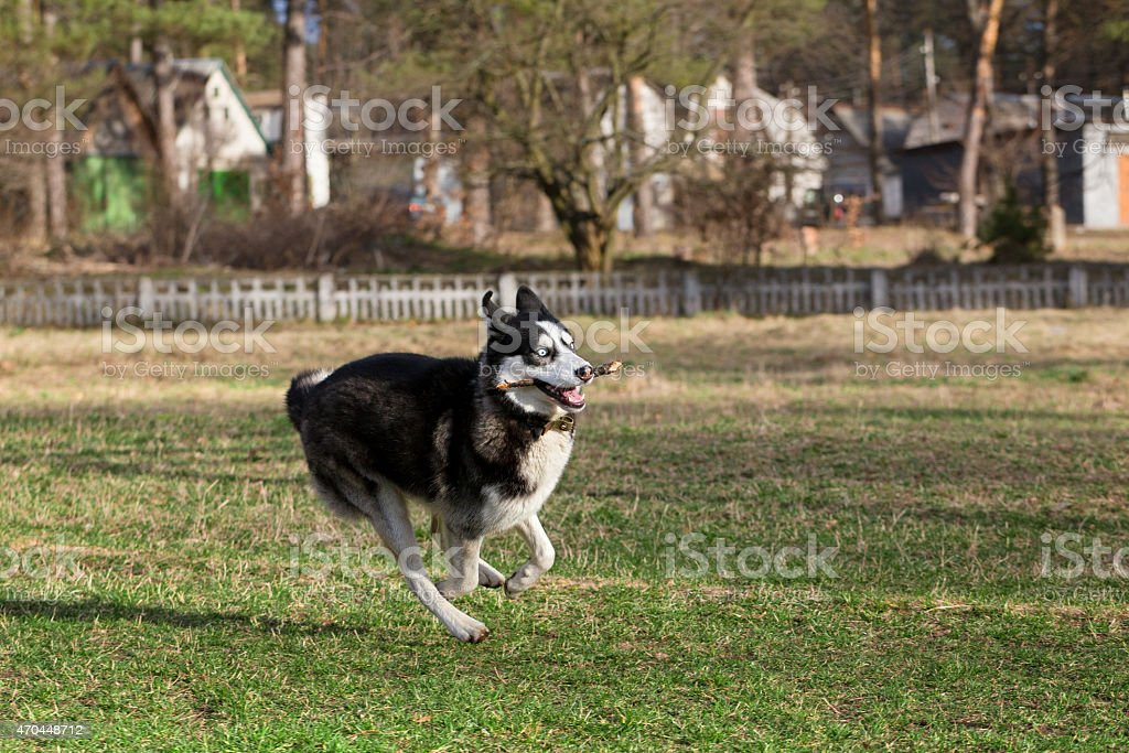 Siberian Husky with a stick in his mouth. stock photo