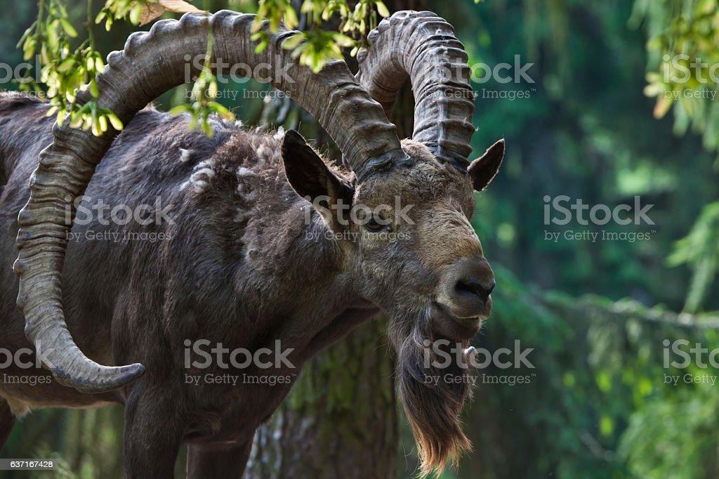 Siberian ibex (Capra sibirica). stock photo