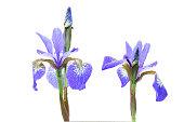 Siberian iris flowers, isolated