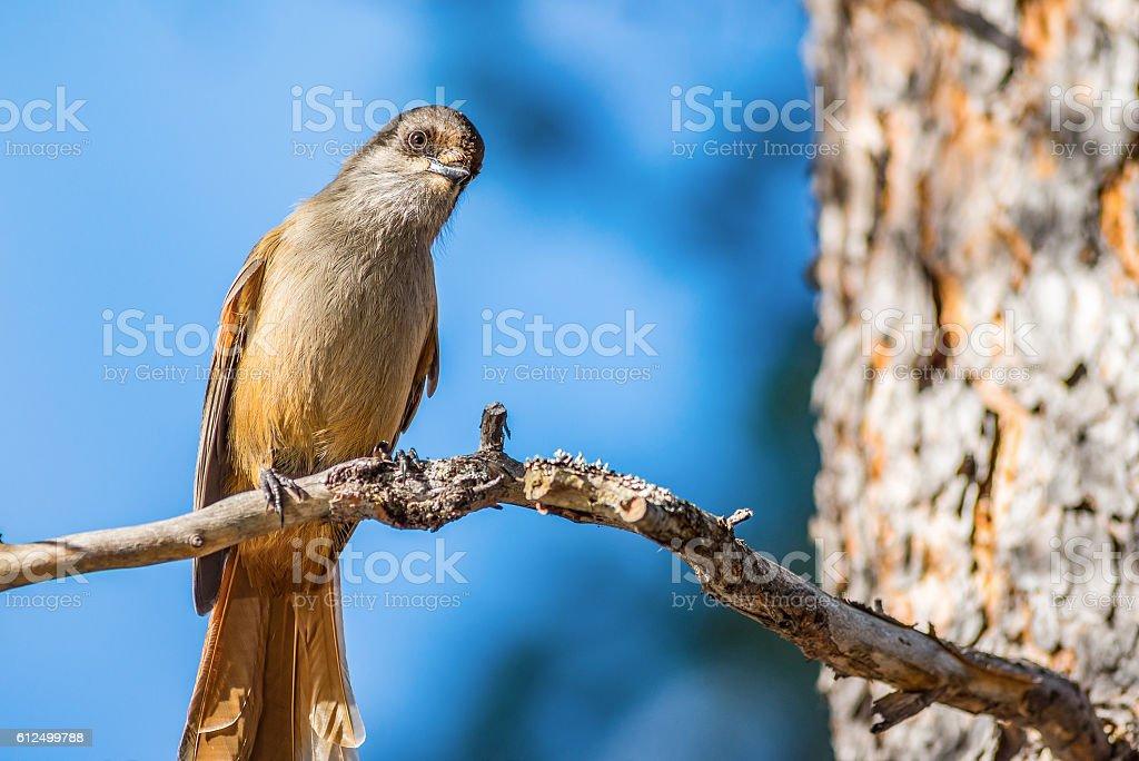 Siberian jay bird stock photo