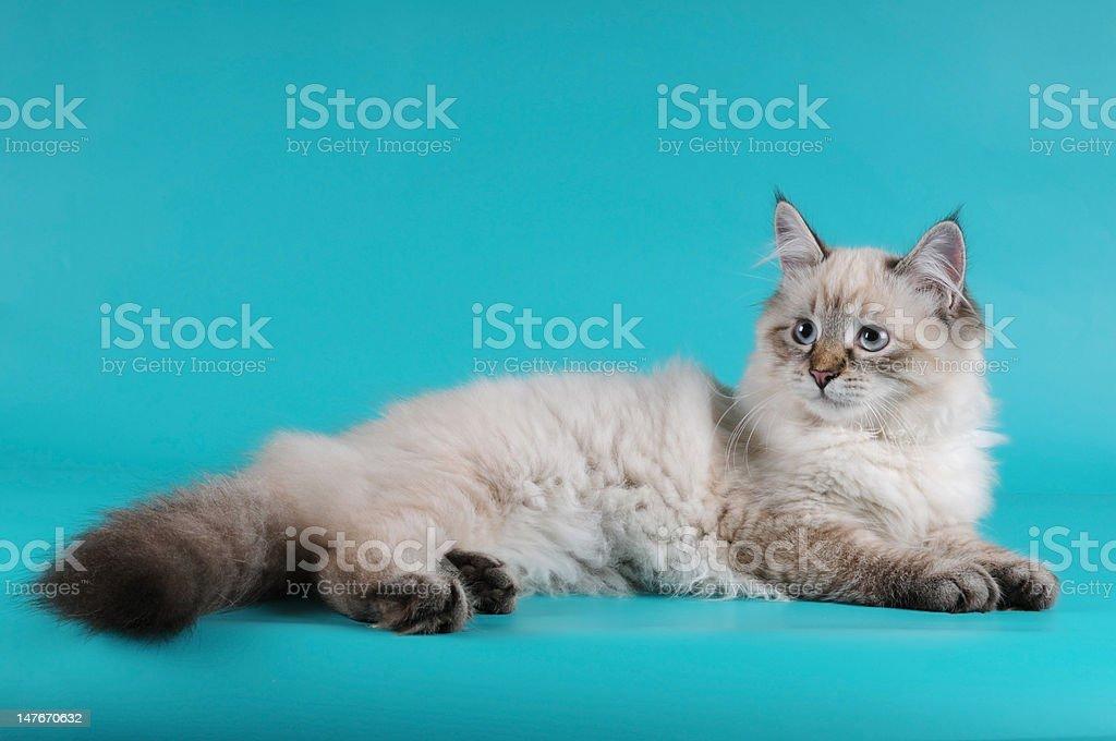 Siberian kitten lying stock photo