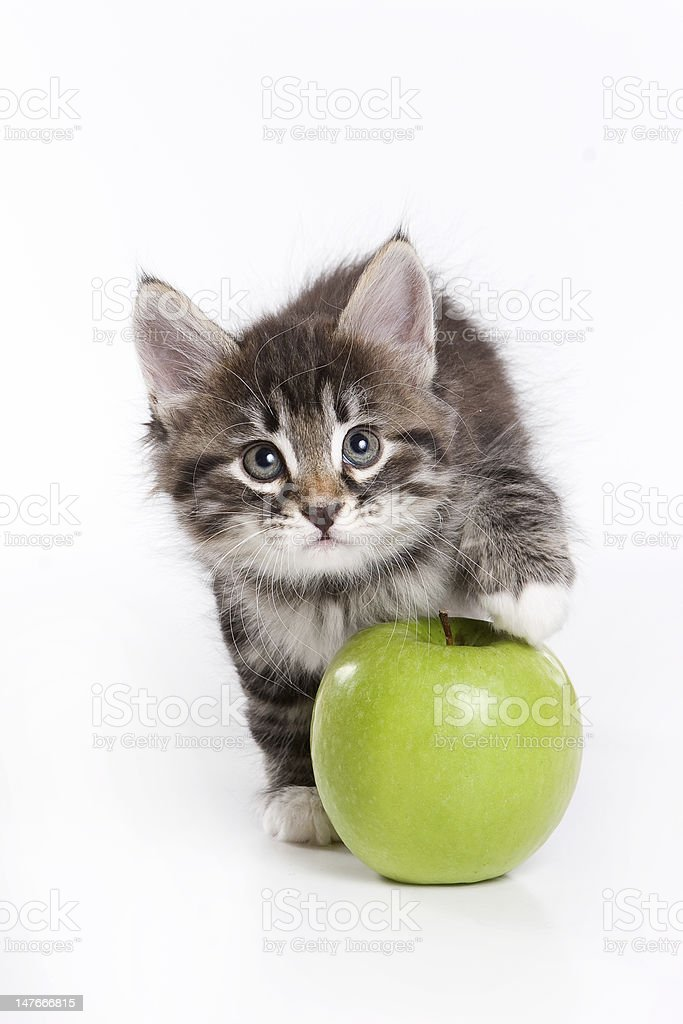 Siberian kitten royalty-free stock photo