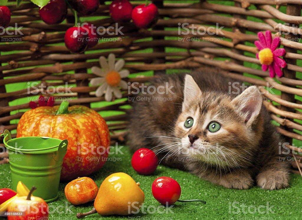 Siberian kitten royalty-free stock photo