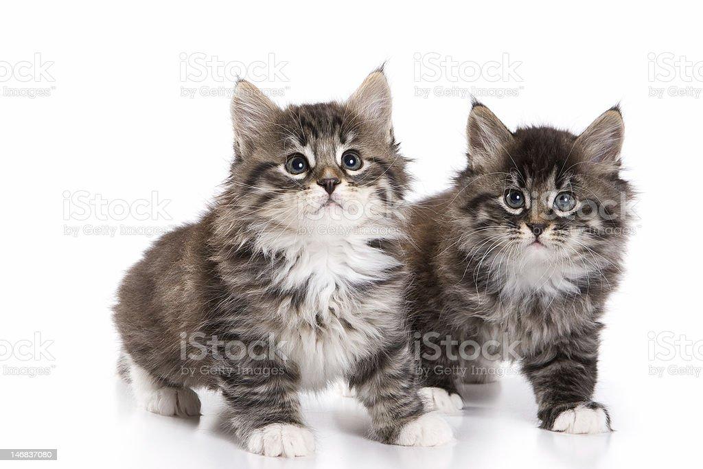 Siberian kittens royalty-free stock photo