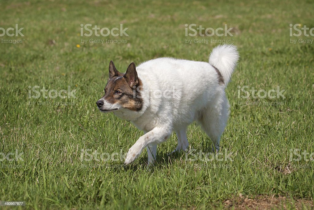 Siberian laika royalty-free stock photo
