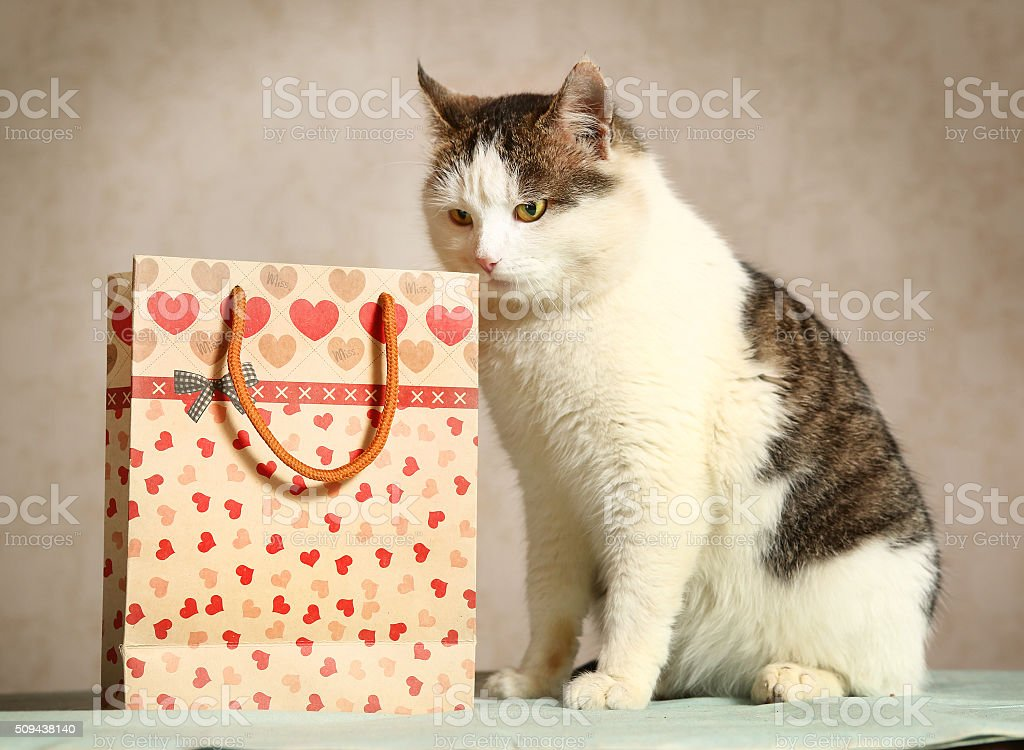 siberian male cat with present bag sniffing stock photo