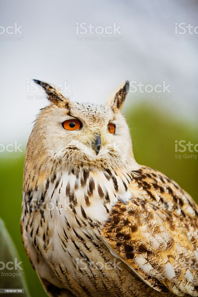 Siberian owl stock photo