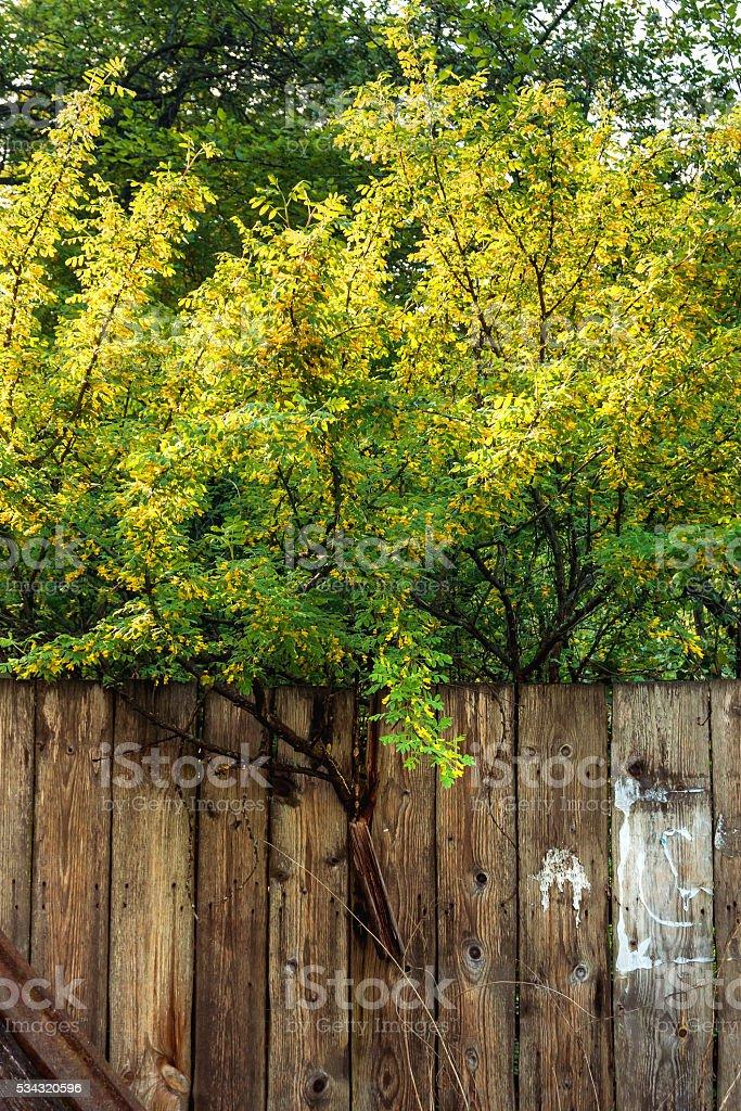 Siberian peashru (Caragana arborescens). Pea-tree behind old fence. stock photo