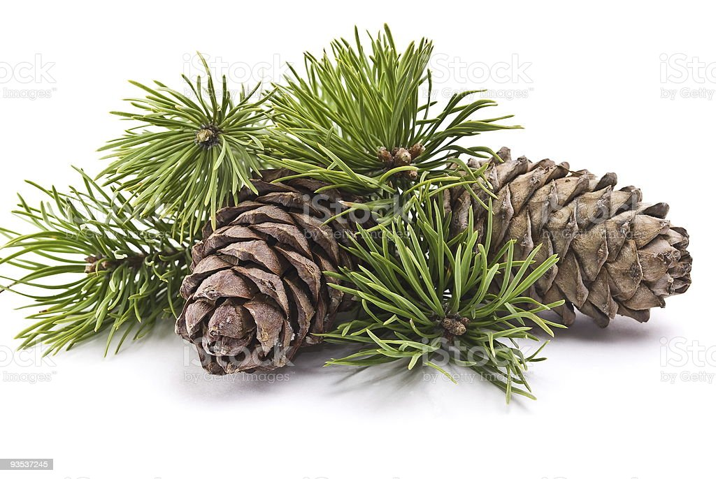 Siberian pine cones and green branches on white background stock photo
