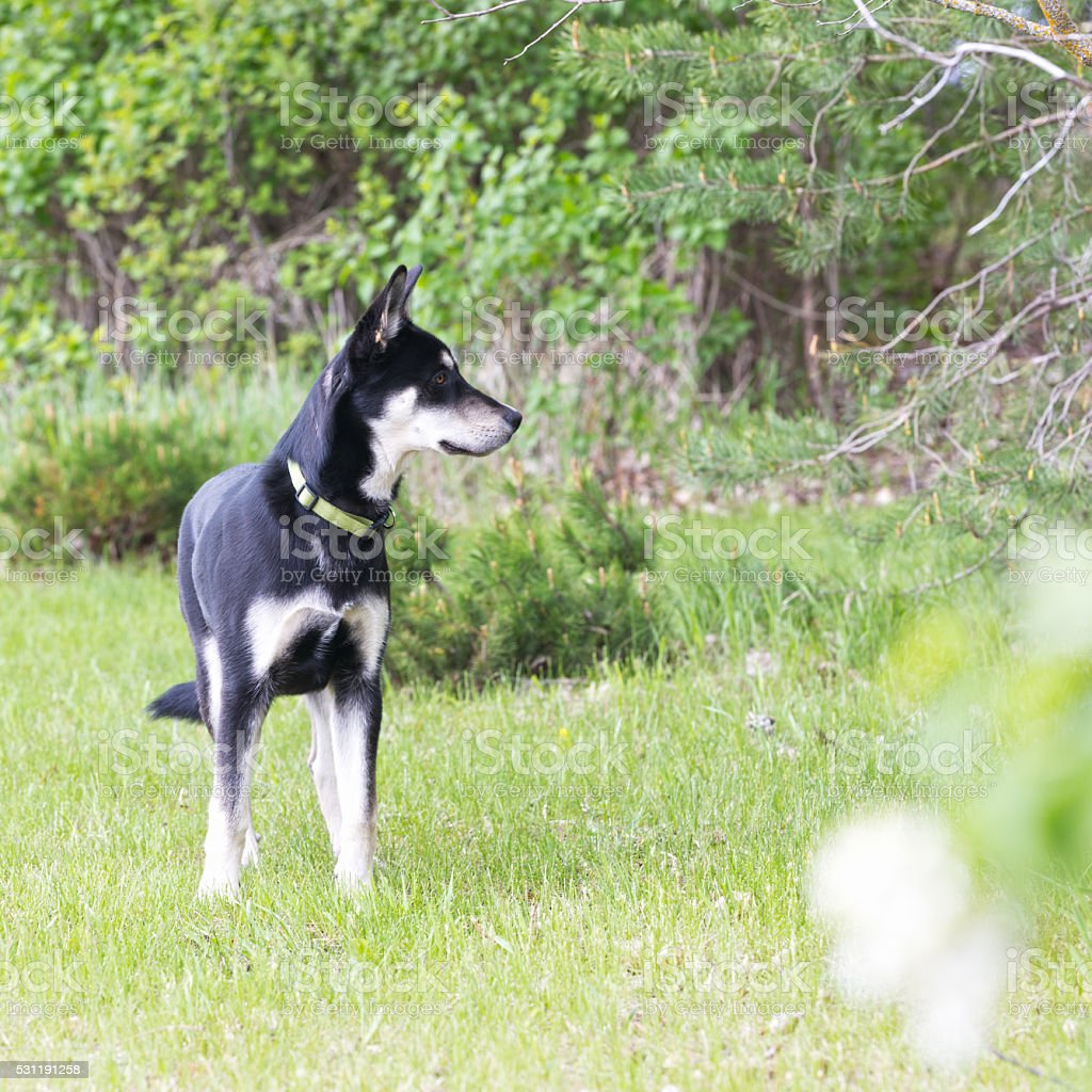 Siberian Retriever Puppy stock photo