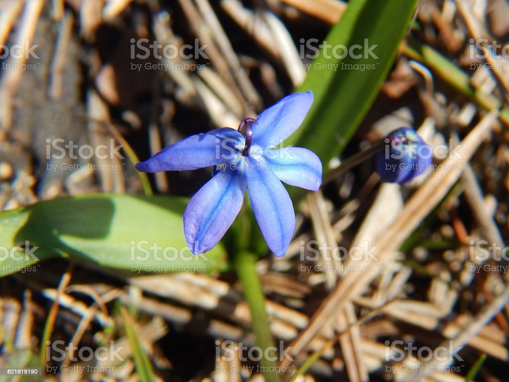 Siberian Squill Flower in Bloom stock photo