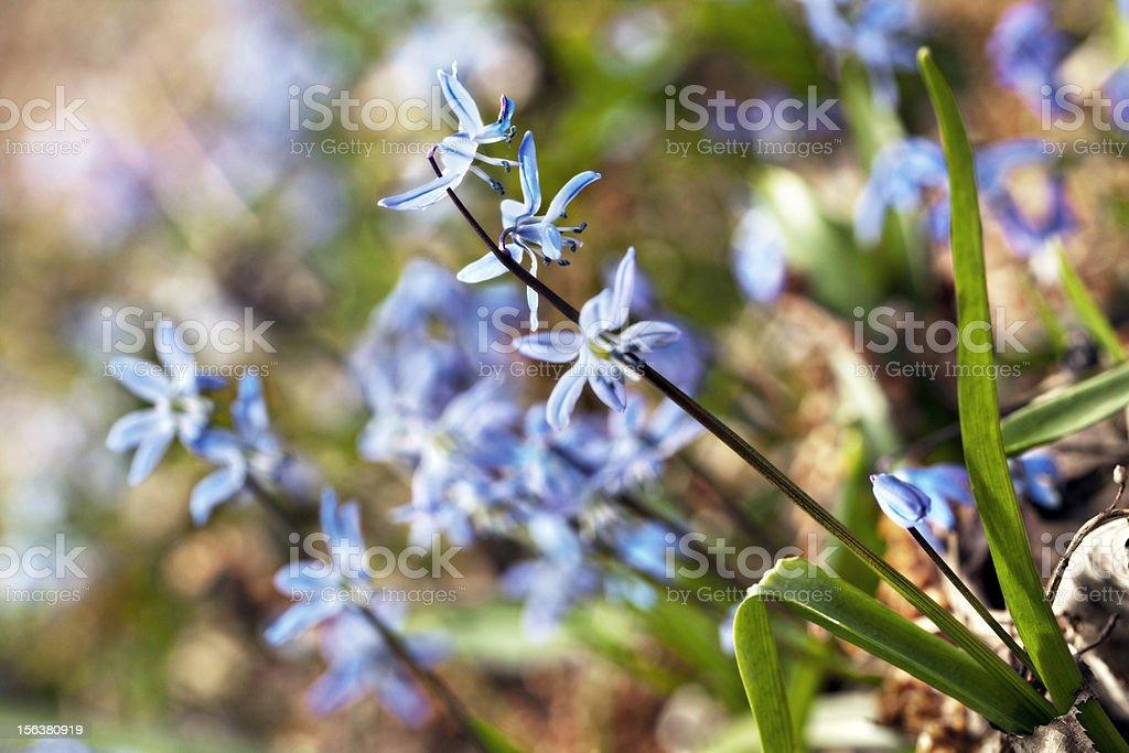 siberian squill ground cover Scilla siberica stock photo