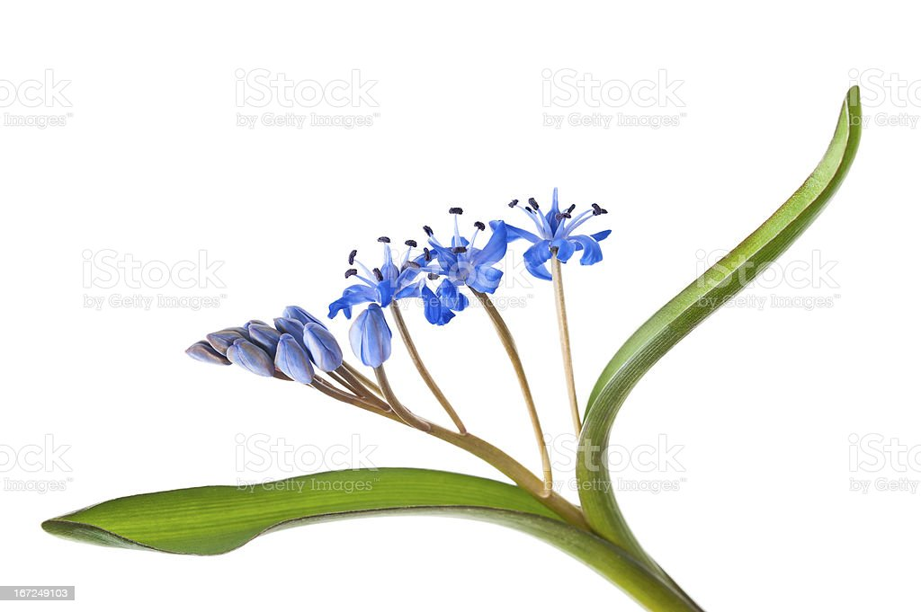 Siberian squill royalty-free stock photo