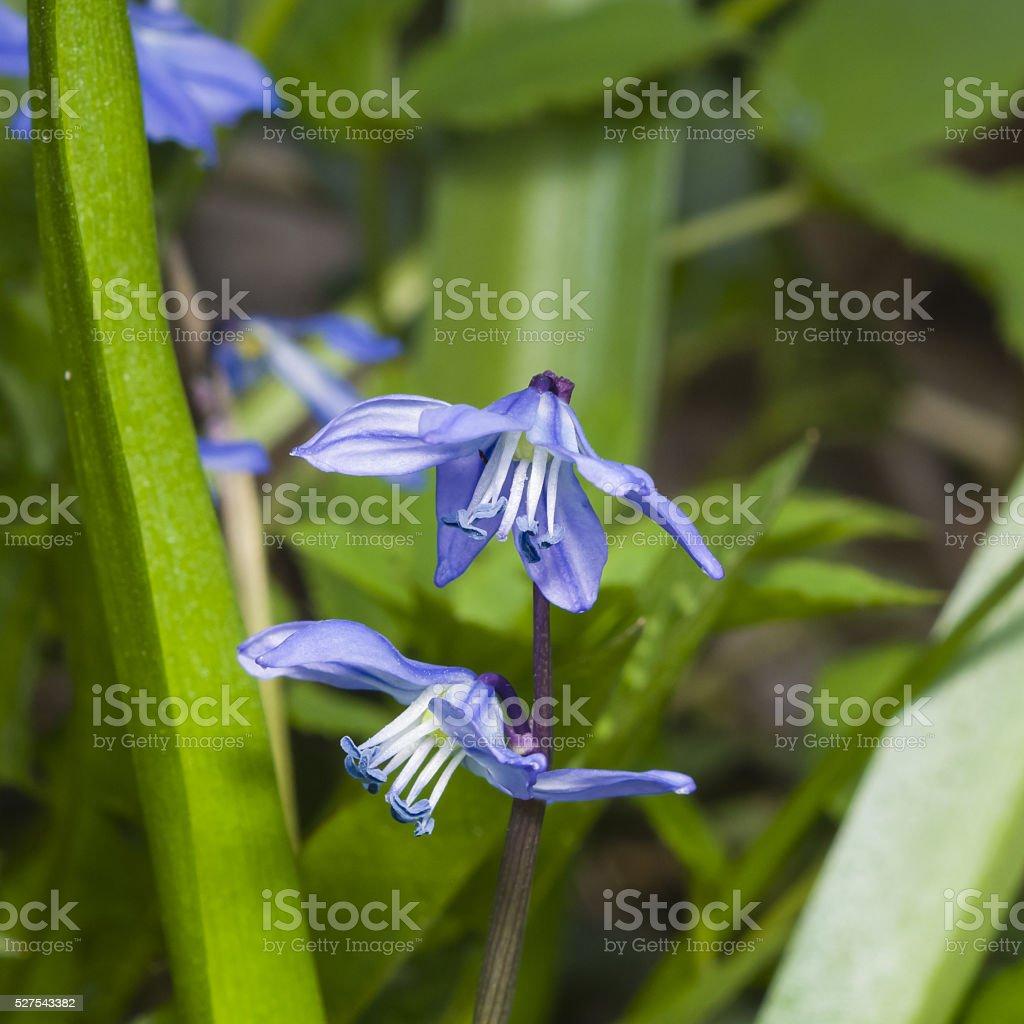 Siberian squill, scilla siberica, flowers macro, selective focus, shallow DOF stock photo