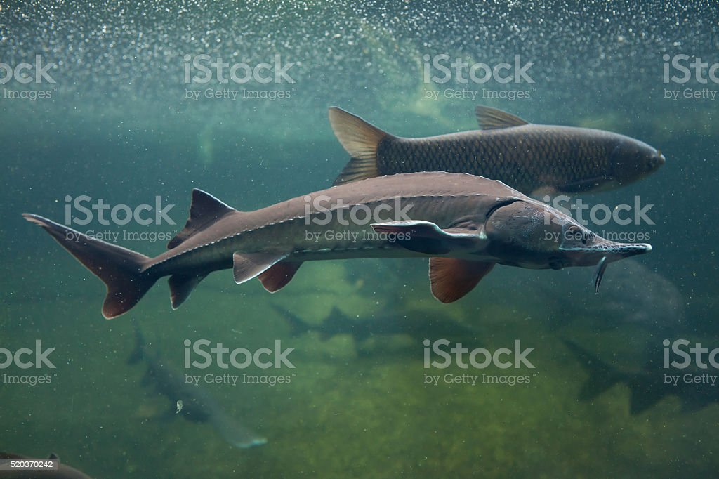 Siberian sturgeon (Acipenser baerii). stock photo