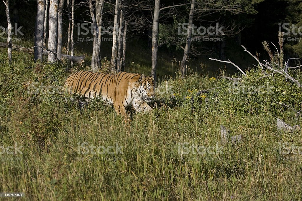Tigre sibérien approches Tas de bois photo libre de droits