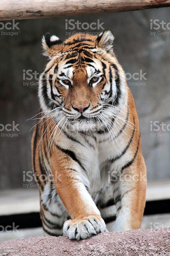Siberian tiger (Panthera tigris altaica) approaching royalty-free stock photo