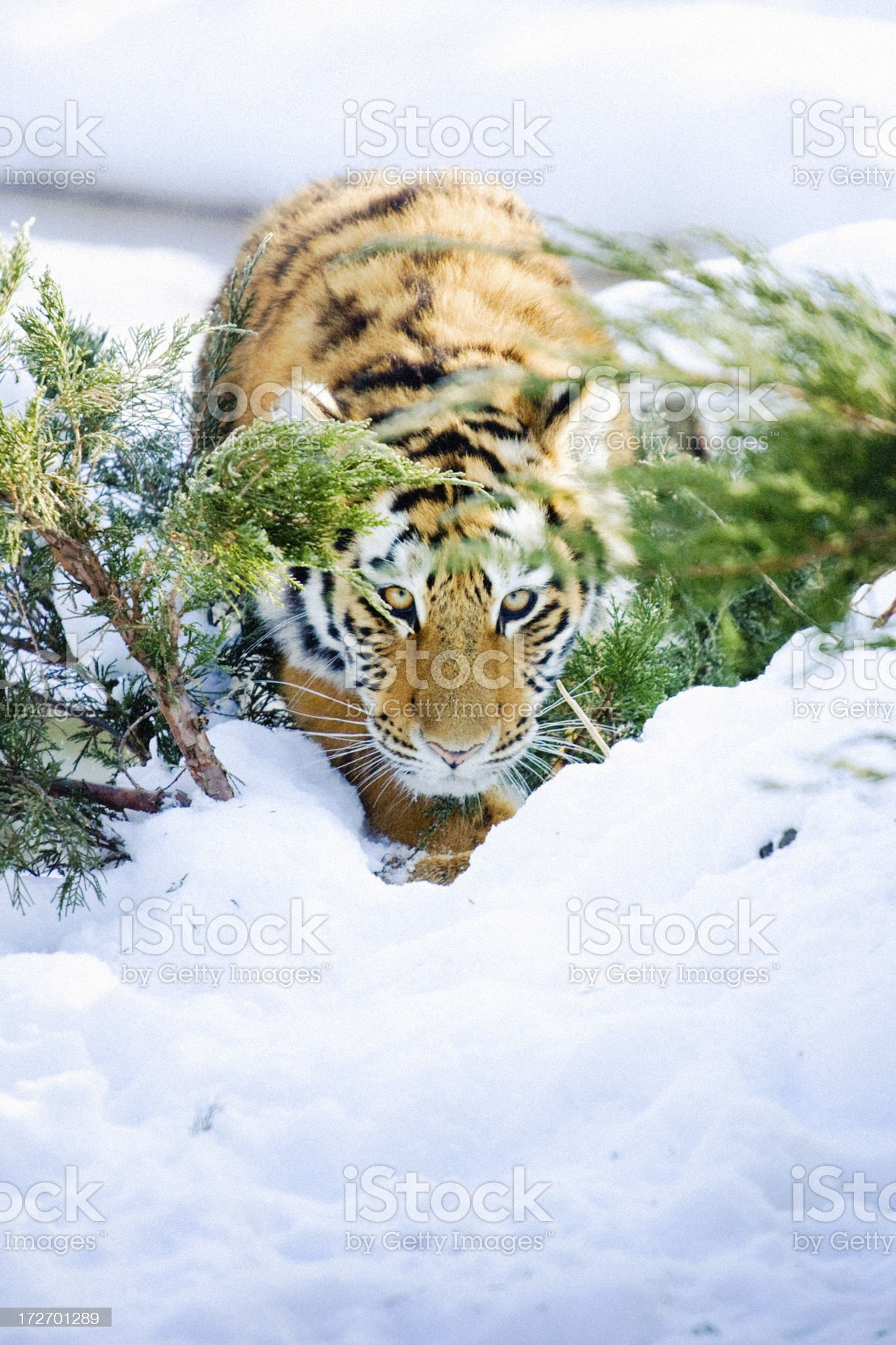 Siberian tiger cub in the snow royalty-free stock photo
