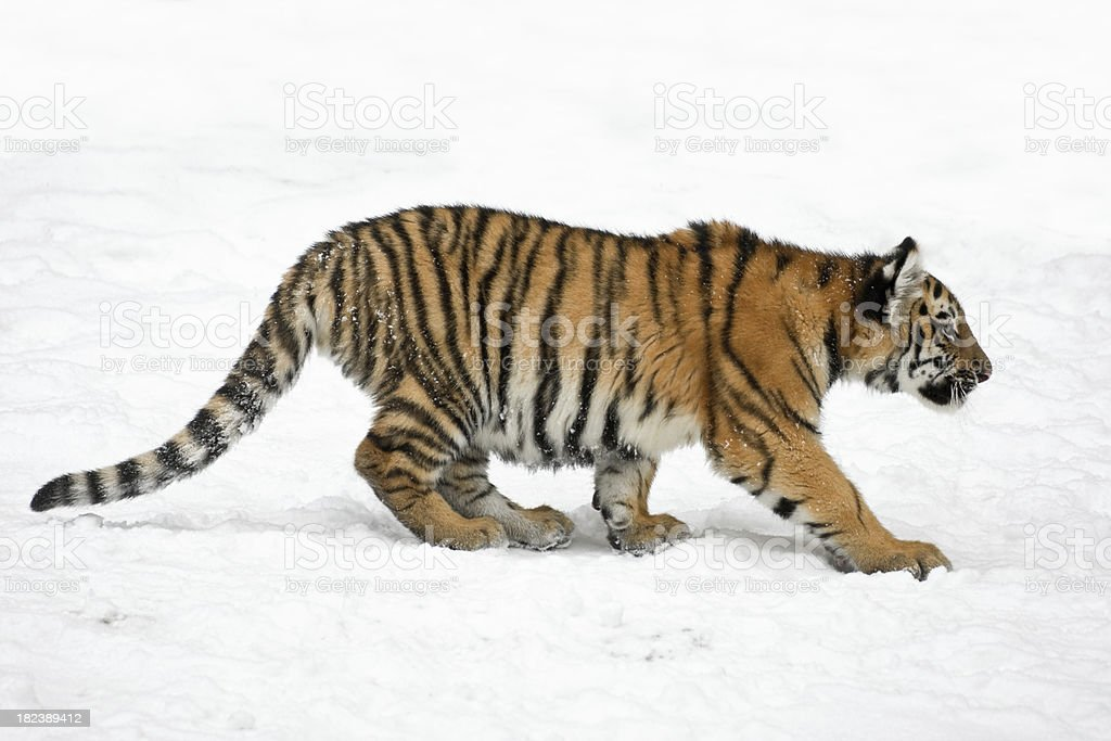 Siberian Tiger Cub In Winter (Panthera tigris altaica) royalty-free stock photo