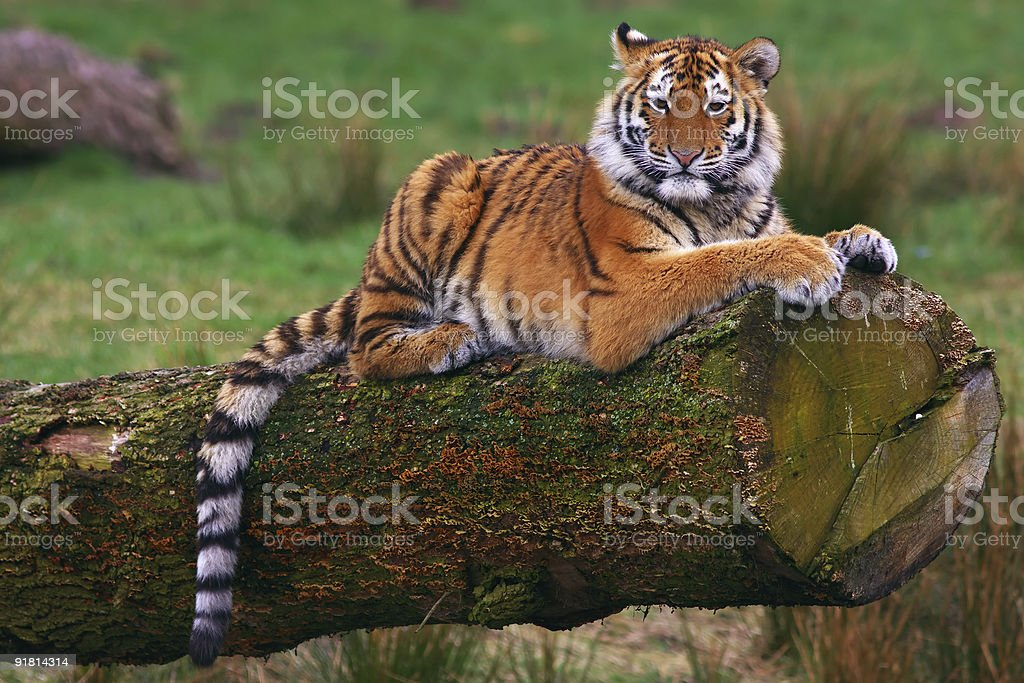 Siberian tiger cub on a tree royalty-free stock photo