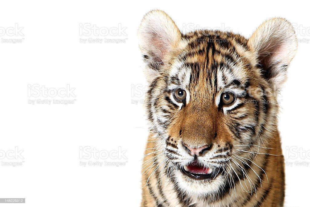 Siberian Tiger Cub royalty-free stock photo