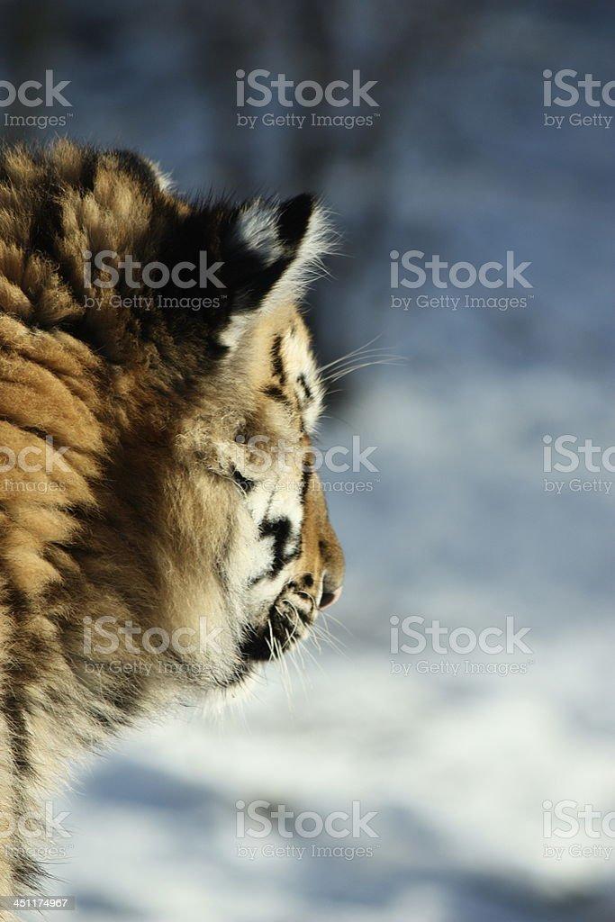 Cachorro de tigre siberiano foto de stock libre de derechos