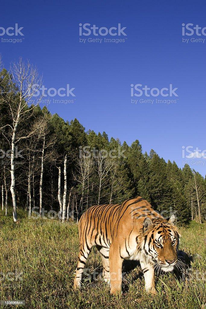 Tigre sibérien ressort de la localité the woodlands photo libre de droits