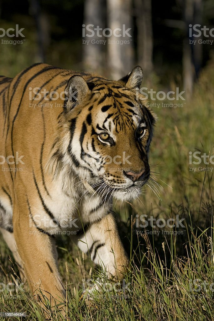 Tigre sibérien ressort de la localité the woodlands photo libre de droits