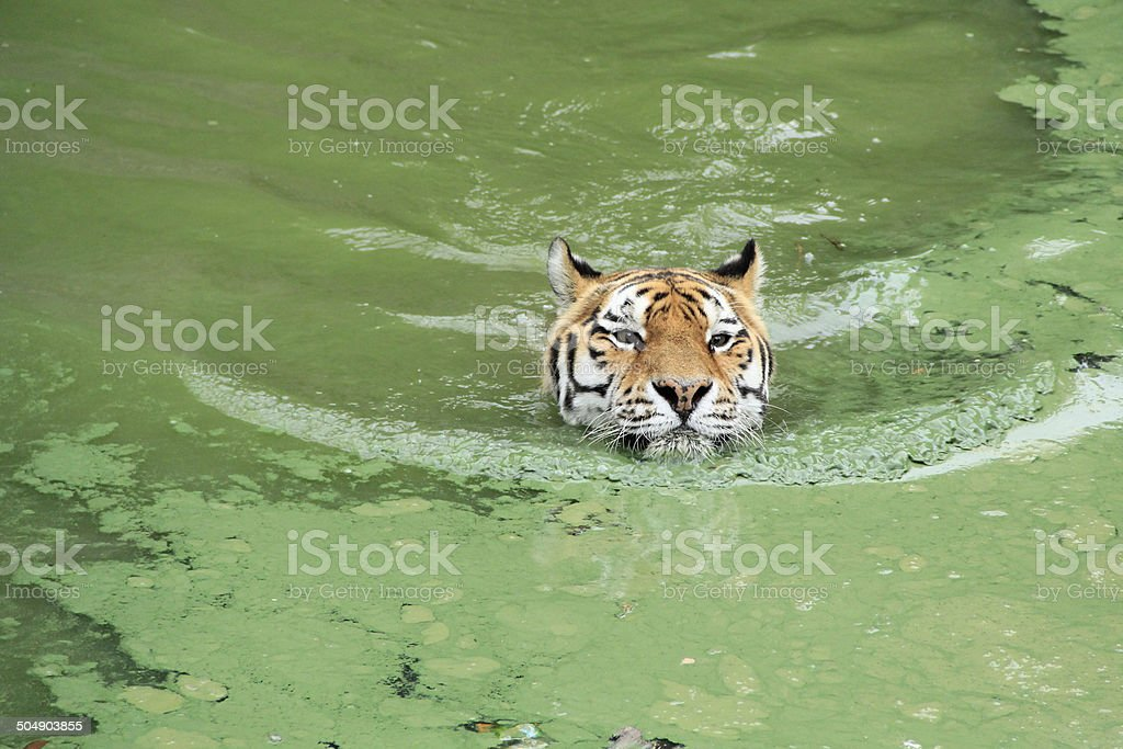 Siberian tiger in polluted waters stock photo