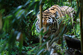 Siberian tiger in the forest