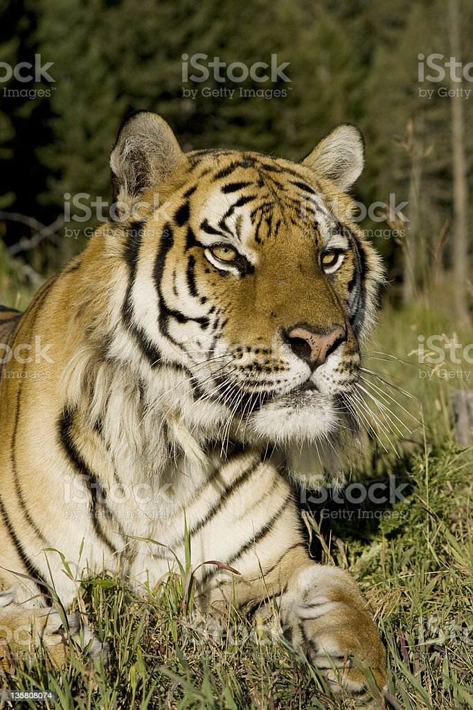 Tigre de Sibérie dans la forêt photo libre de droits