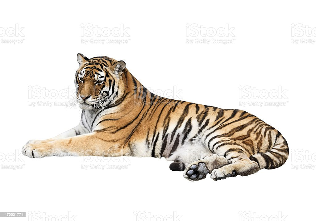 Siberian tiger isolated on white background stock photo