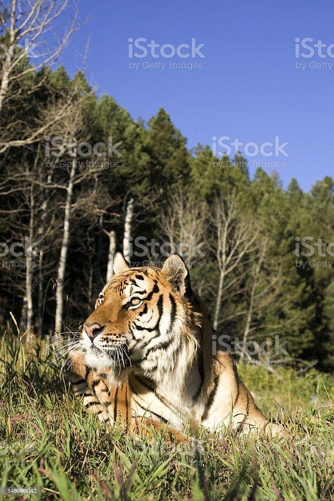 Tigre sibérien établit bord de la forêt. photo libre de droits