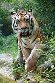 Siberian tiger looking at the camera