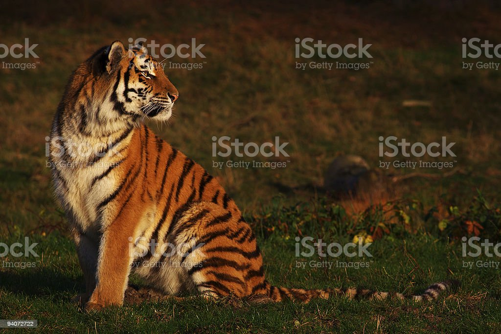 Siberian Tiger looking backwards stock photo